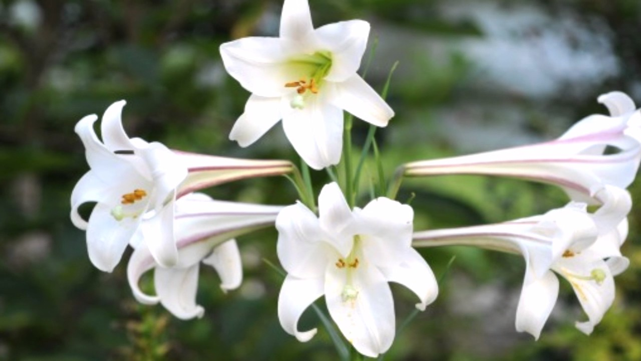 Lily Flowers Youtube