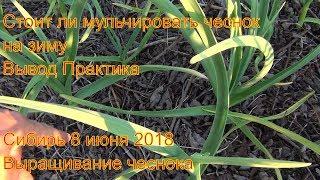 Стоит ли мульчировать чеснок на зиму Вывод Практика Сибирь 8 июня 2018 Выращивание чеснока