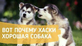 Самые интересные факты о Сибирском Хаски