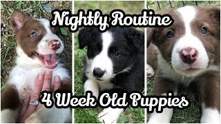 Nightly Puppy Routine | 4 Week Old Puppies | Border Collies