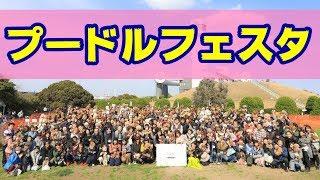 """トイプードル の """"ぽてち"""" が、横浜で開催された 『プードルフェスティ..."""