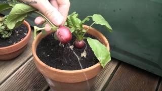 Tomaten und Radieschen auf dem Balkon ernten im November