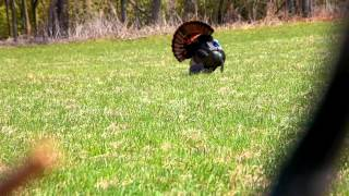2014 Turkey Hunt Ontario (Double beard 22.5 lbs)