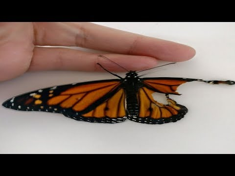 Woman Does Major Surgery On Butterfly's Wing, Is Stupefied When It Takes Flight The Next Day