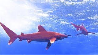 видео Длинноплавниковая океаническая акула