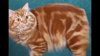 Кимрик кошка