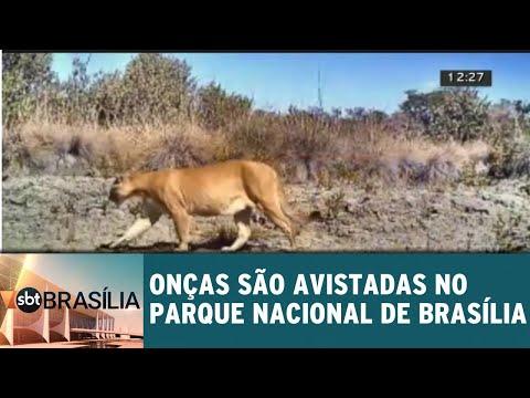 Onças são avistadas no Parque Nacional de Brasília | SBT Brasília 17/08/2018