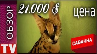 ПУШКИНО Самая Дорогая Порода Кошек САВАННА 21 000$