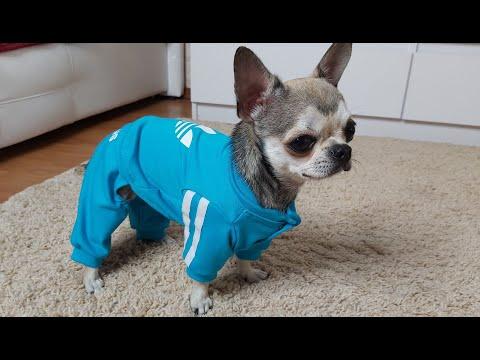 Вопрос: Кто придумал одежду для собак И моду на эту одежду?