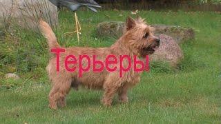 Породы собак: Терьеры