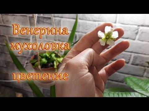 Венерина мухоловка, цветение