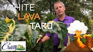 White Lava Taro are stunning additions to every water feature.