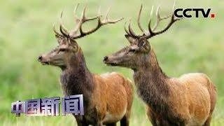 [中国新闻] 四川甘孜:野生白臀鹿群现身甘孜色达雪山 | CCTV中文国际