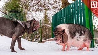 Мини-пиг воспитывает щенка