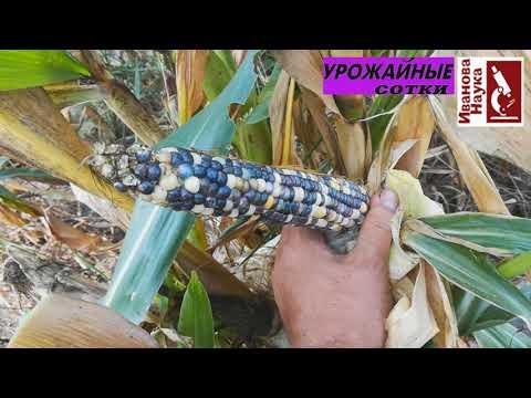 Разноцветная кукуруза. Пробуем вырастить.