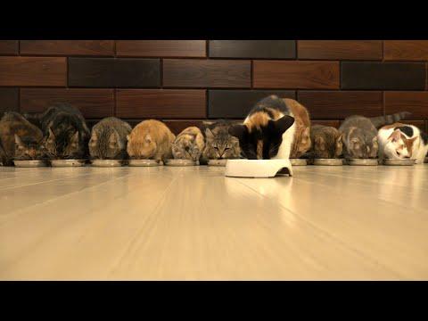 12 Cats Munch Away Cat Food   むしゃむしゃ食べる12匹の猫