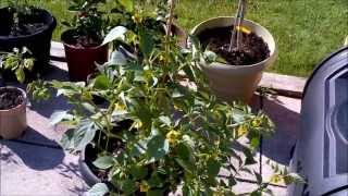 Patio garden peppers and tomatillos Part 1