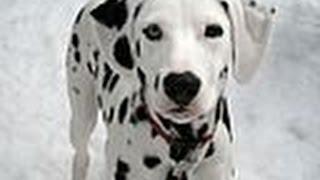 ***How To Potty Train A Dalmatian Puppy Free-Mini Course***