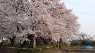 藤井城址の桜