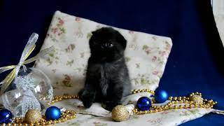 Вислоухая чёрная кошка (скоттиш фолд). Продажа. Питомник Мелоди Соул г. Казань