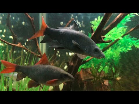 Large RedTail Shark And Fat Rainbow Shark : Equal In Size