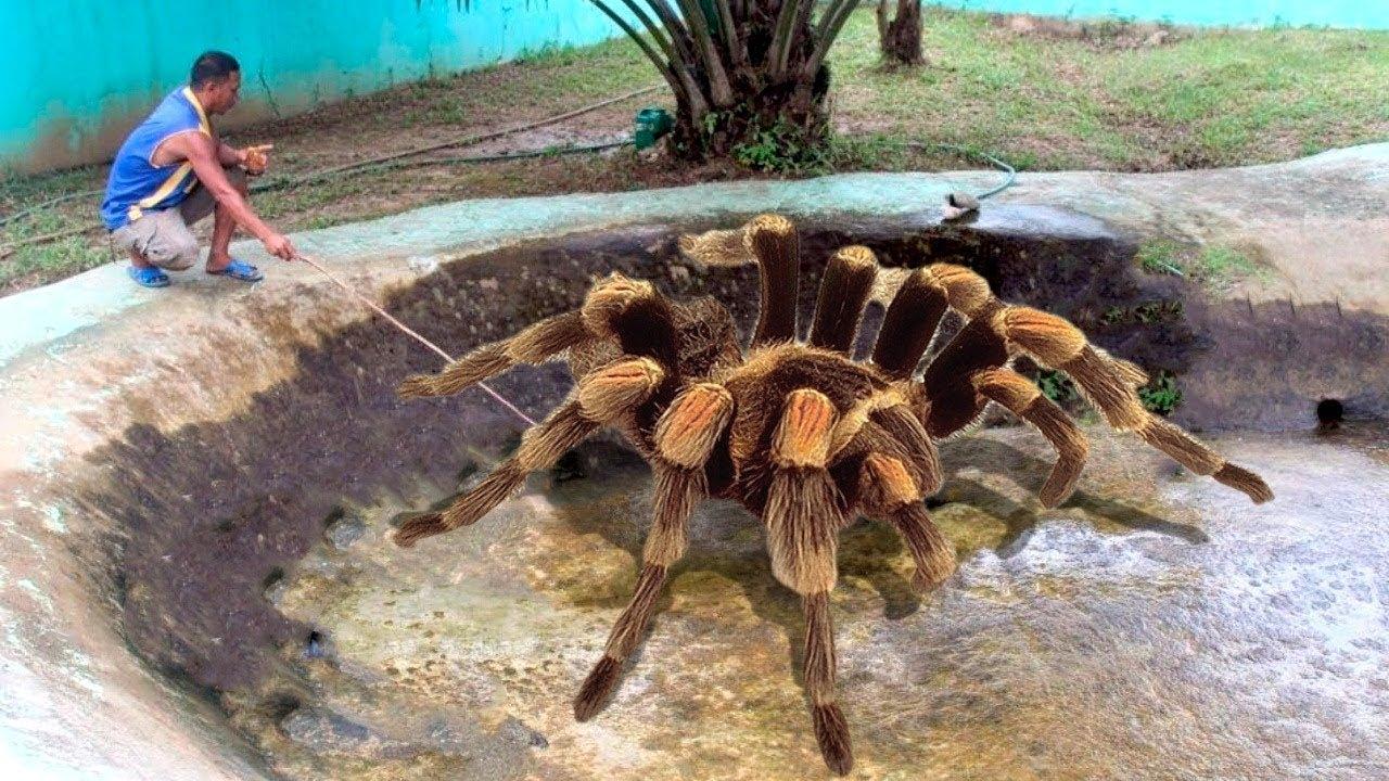 Download Dünyanın En Büyük Örümceği Keşfedildi. - Görünce Herkes Kaçıyor.