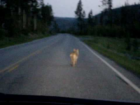Coyote at Yellowstone National Park