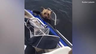 Спасение медведей на озере Выгозеро