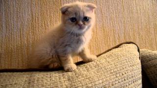 Котенок играет и шипит. Шотландская вислоухая