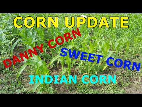 Corn Update - Danny Corn, Sweet Corn, Indian Corn