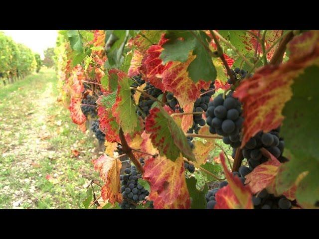 Climat: quels cépages pour quel vin de Bordeaux dans 50 ans ?