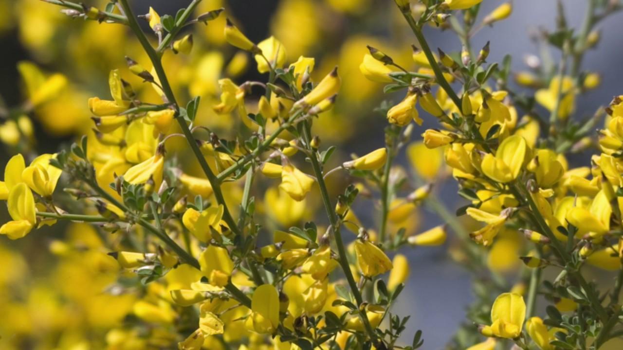 La flor de Bach Gorse o Aulaga