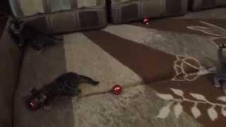 Ручные бенгальские котята окраса розетка на золоте в Москве
