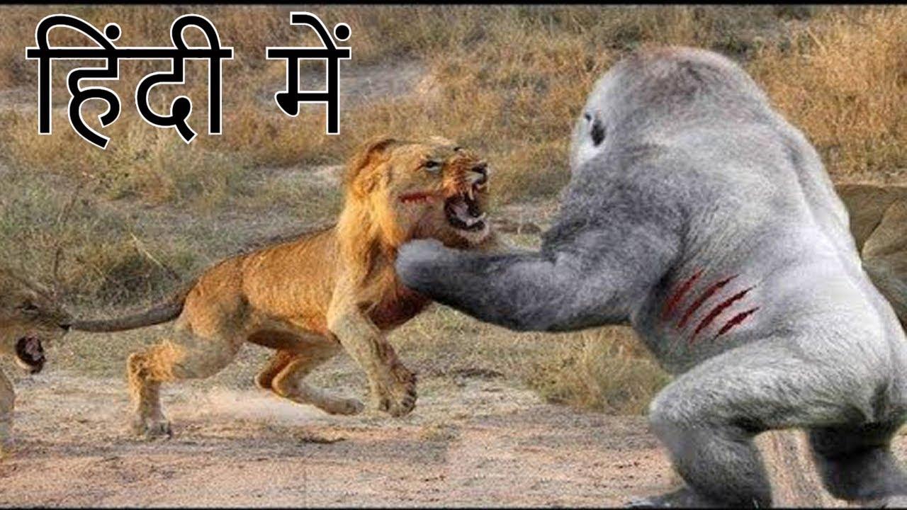 शेर और गोरिल्ला की लड़ाई में कौन जीतेगा who won fight between lion and  gorilla