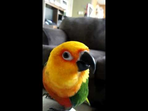 Jenday conure says