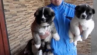 American Akita puppies. Щенки АМЕРИКАНСКОЙ АКИТЫ.