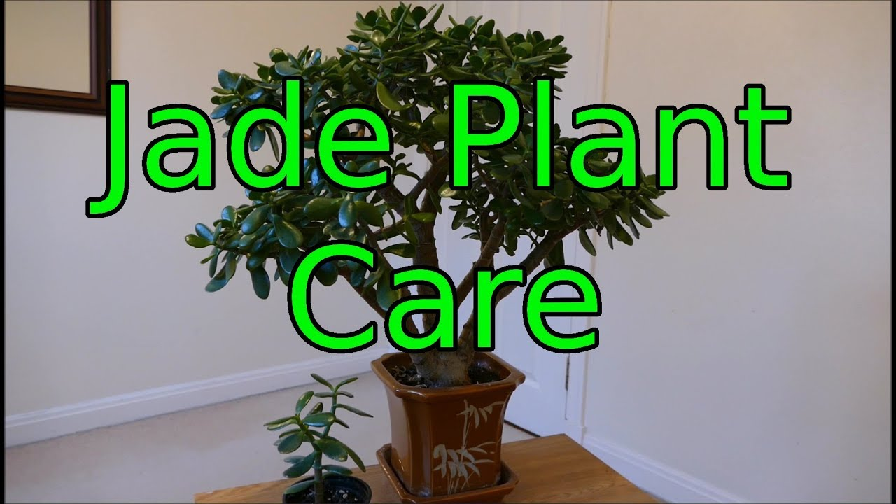 Jade Plant Care Crassula ovata  YouTube