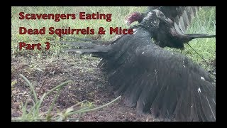 Wildlife Footage - Scavengers Eating Squirrels & Mice Part 3.