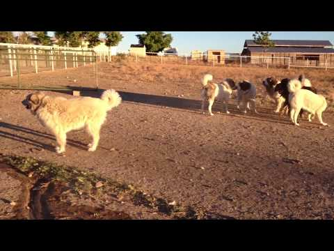 Pyrenean Mastiffs and Spanish Mastiffs ARE agile!
