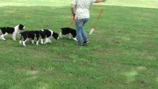 Brownwell Springers-english Springer Spaniel Puppies