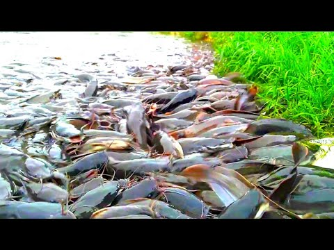 Hybrid Magur Fish Farming In India|| Million Catfish Eating Food In Pond || Part 36