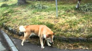 何時もの公園で、行きたくない方向は拒否るかい(北海道犬)。 こっそり...