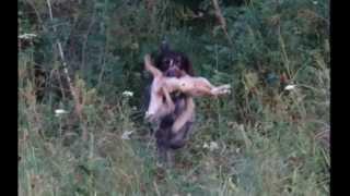 Комплексные состязания охотничьих собак. Караганда 2015 - Фильм третий