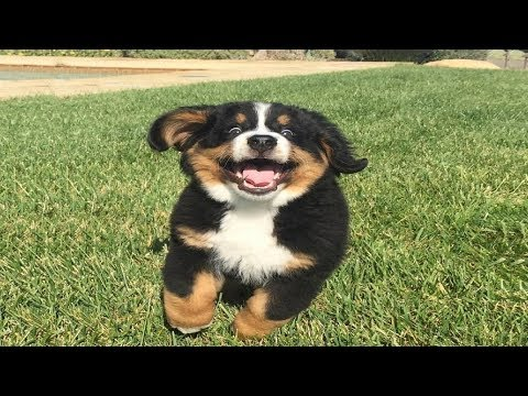 Bernese Mountain Dog Puppies Funny Compilation - Best of 2018