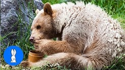 Bears Stealing Food - Thief Bears - FUNNIEST Compilation