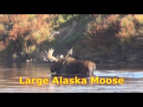 Large Alaska Moose Hunt at Clearwater Alaska Outfitters