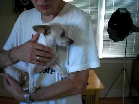 Introducing 'Brendan Von Gleason the 3rd!' (My new Chihuahua.)