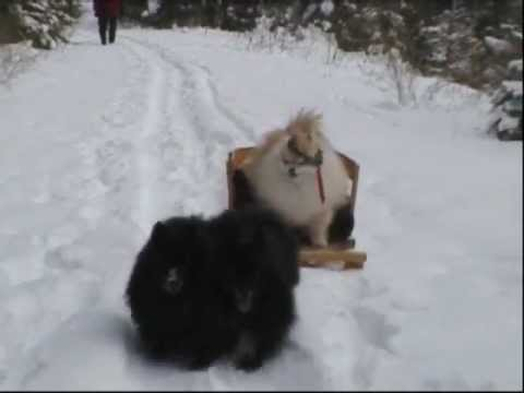 Pomeranian Iditarod.wmv - YouTube