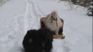 Pomeranian Iditarod.wmv