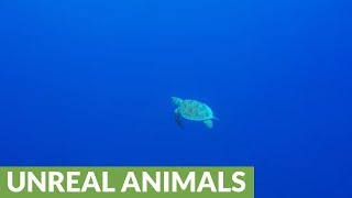 Baby sea turtle gobbles up jellyfish in the open ocean